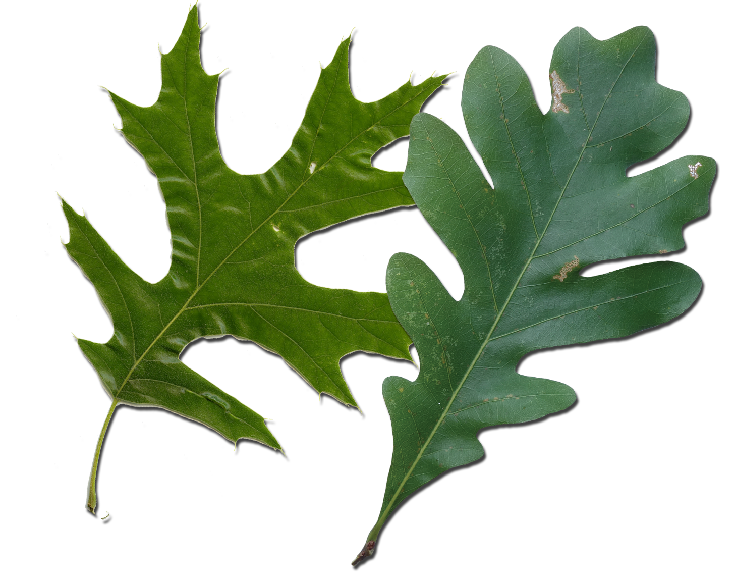 Red oak vs white leaves how to tell them apart