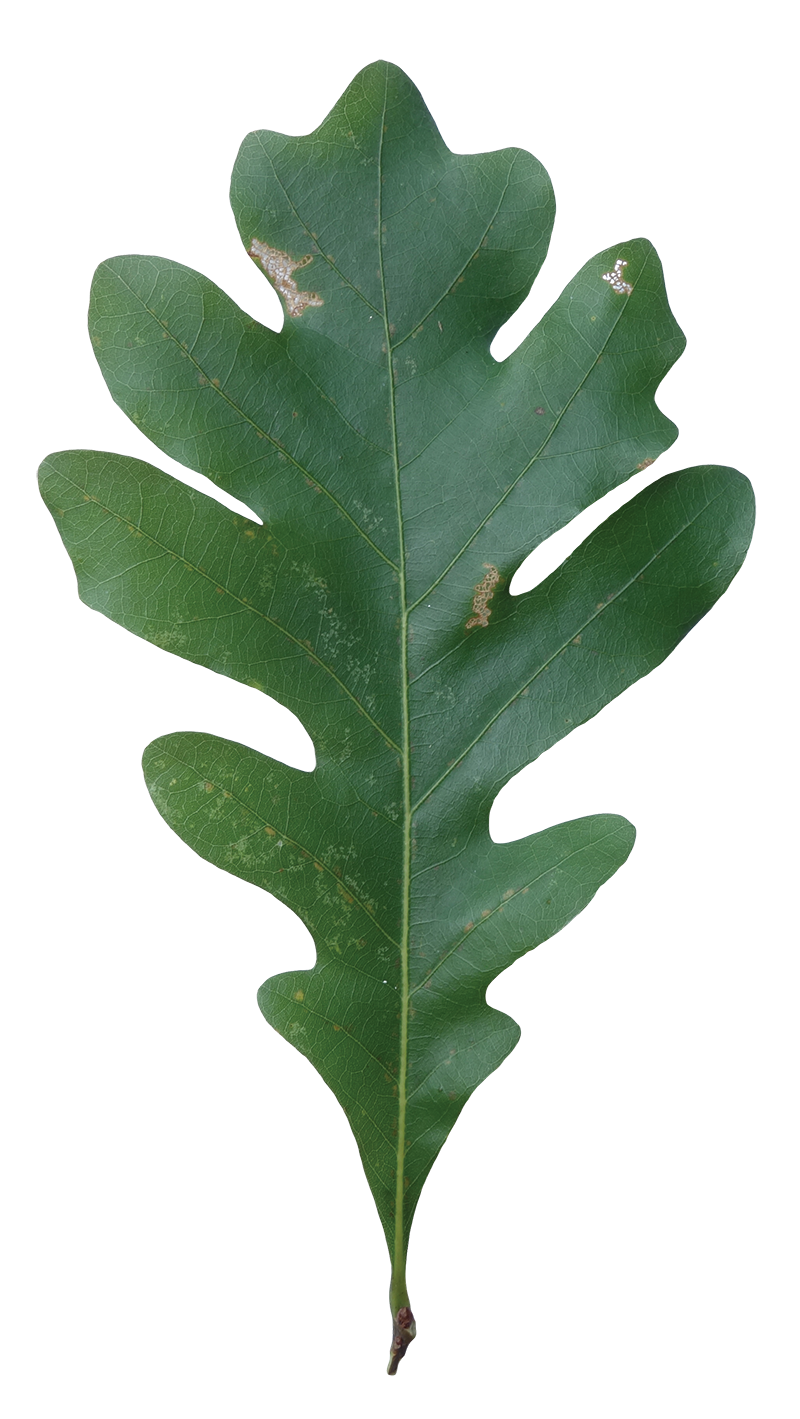 White Oak Leaf (Red Oak vs White Oak Leaves)
