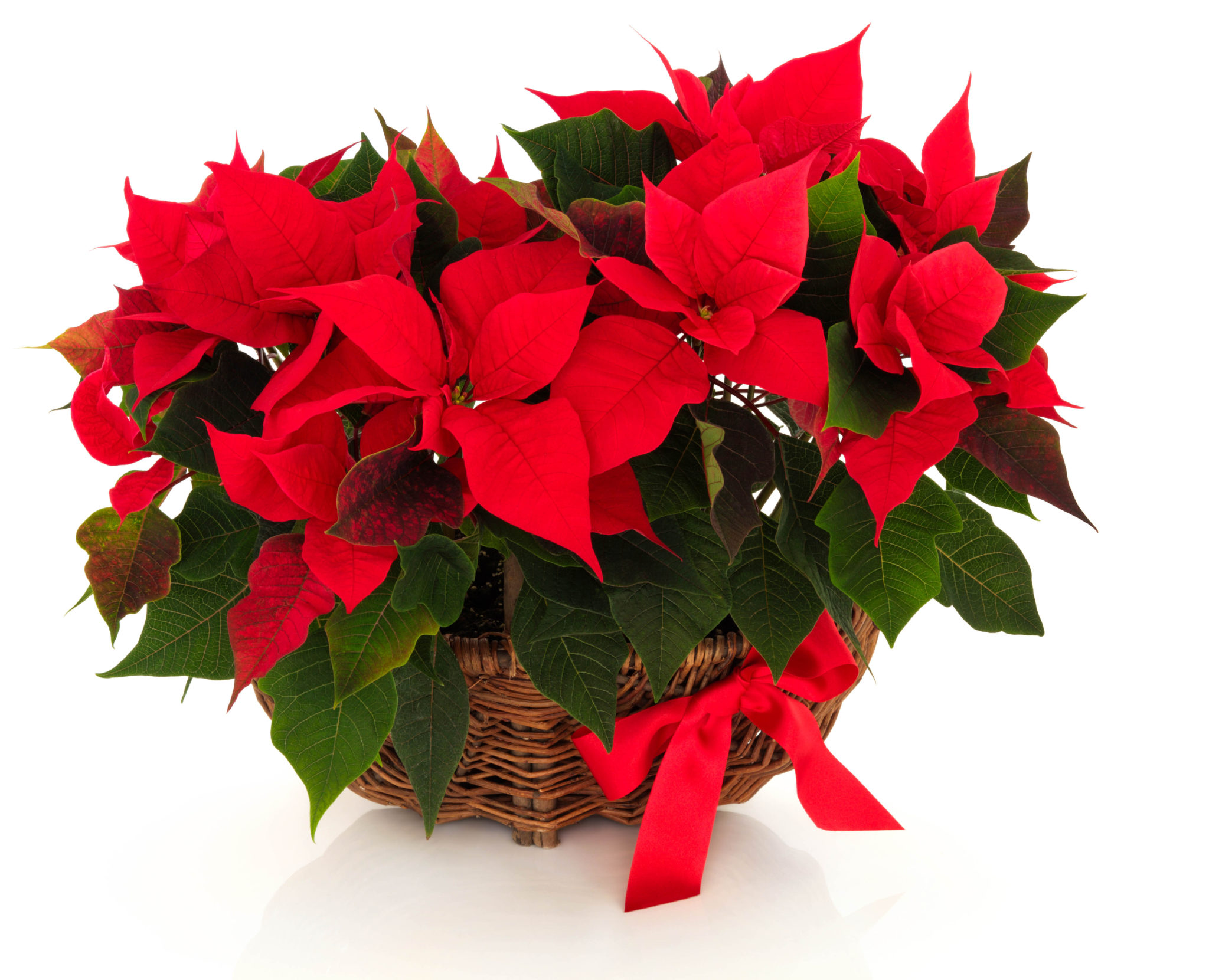 Are poinsettias poisonous? As much as it suits holiday decor and seems tailor-made for that special time of year between Thanksgiving and the first of January, the poinsettia has a reputation that few plants would want. #poinsettias